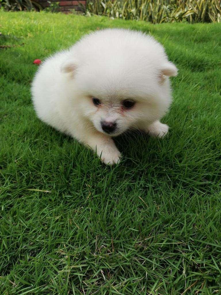Pomeranias Lulu 0