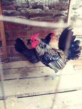 Vendo pareja de gallos kikirikis a S/. 80