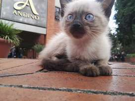 Hermosos gatitos siamés puros