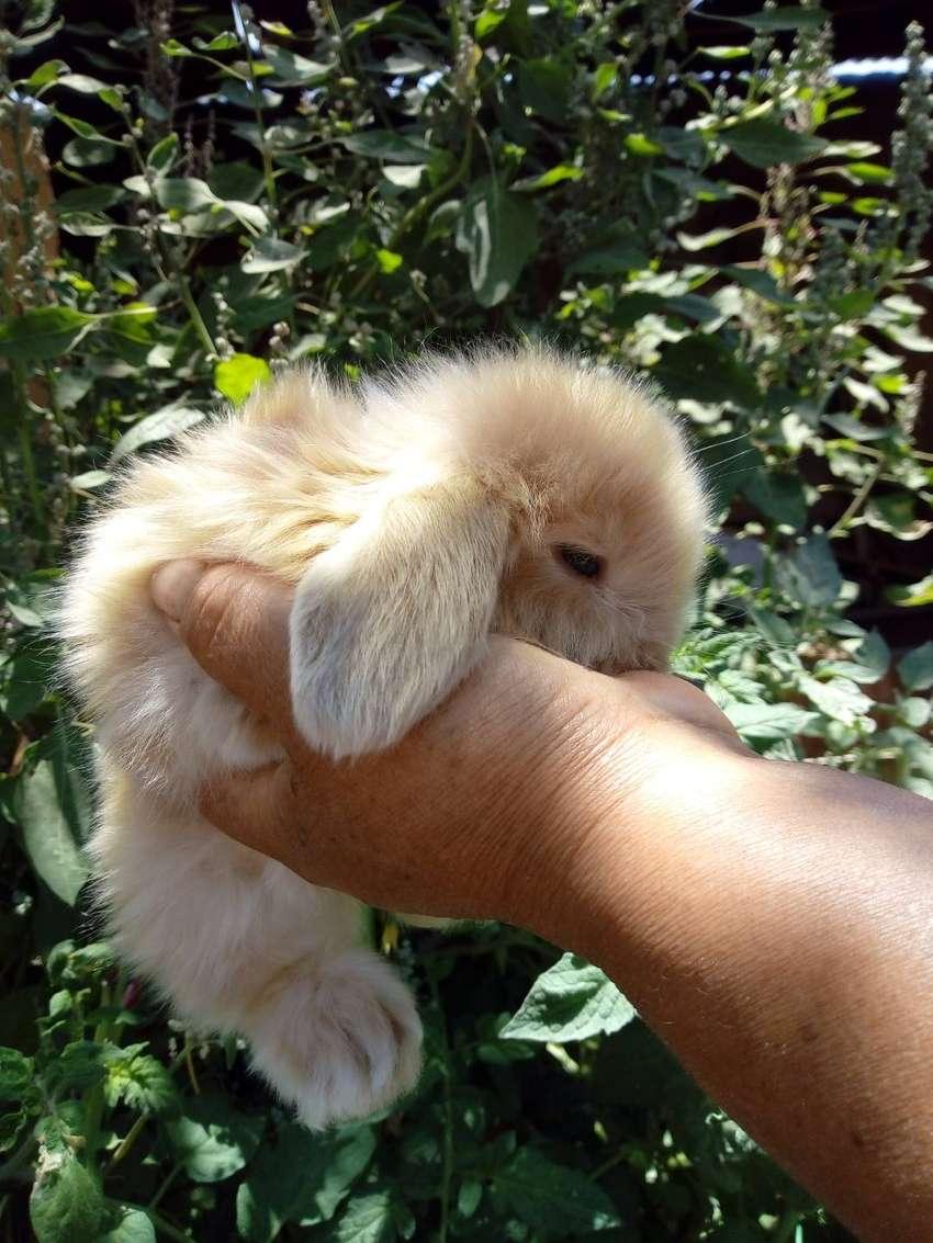 Conejos minilop 0