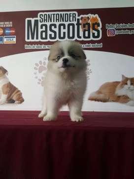 Lindo cachorro de raza pomerania particolor Lulú
