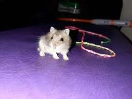 Hamster rusos, enanos, sirios, raton satinado, mexicano y ratas egipcias