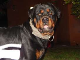 Excelente Rottweiler para servicio