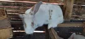 Auténticos conejos gigantes