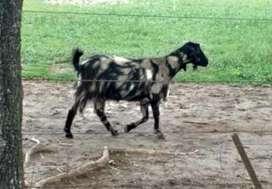Vendo Cabras mestizas y boer