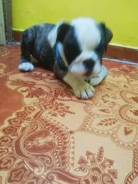 Hermoso cachorro bulldog inglés