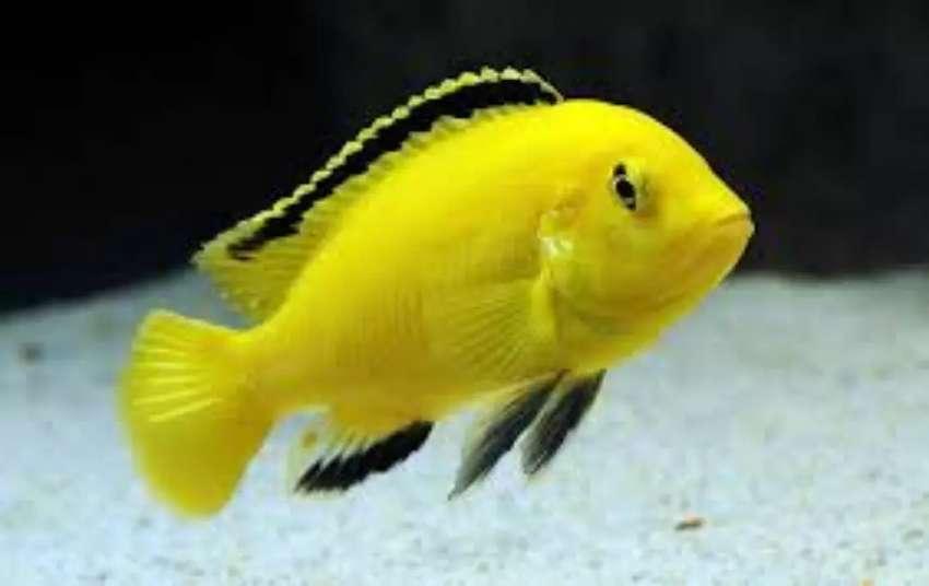 Vendo peces amarillos electricos 0