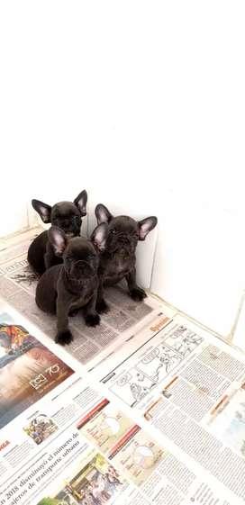 Bulldog Frances blue carrier triple Hay machos y hembras disponibles