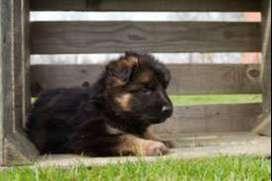 Mascotas pastor alemán estupendos de gran genética
