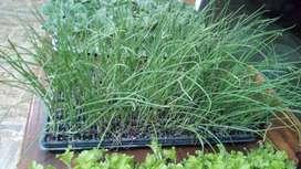 Venta de plantines de hortalizas