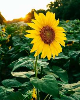 Semillas Flores Giras Decoración Jardin Planta Cultivos 1a