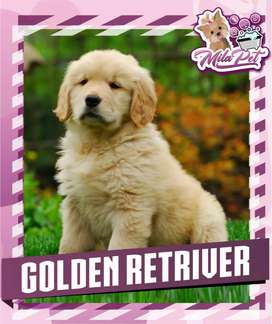 Golden retriever bellos