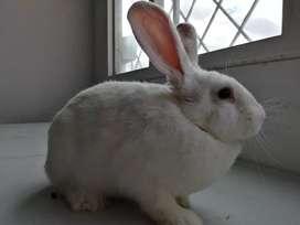 Vendemos conejos Nueva Zelanda en Bogotá