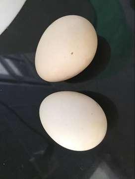 Huevos Fertiles Sedosas De Japon Marrones Puras