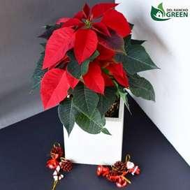 Planta Navidad
