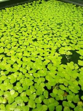 Spirodela Polyrhiza, Planta Flotante Para Acuariosestanque