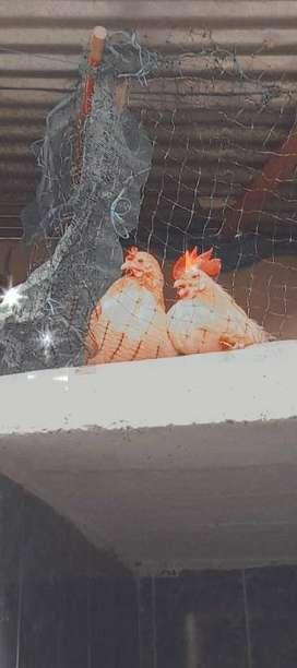 Se venden parejas de gallinas criollas