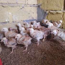 Pollos criollos de engorde