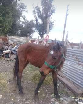 Vendo caballo potro pero muy mansito de todos lados