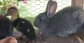 Vendo conejitos y patitos