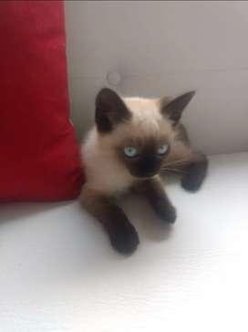 Espectacular gatito siamés chocolate gato