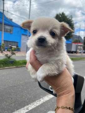 Chihuahuas en bogota