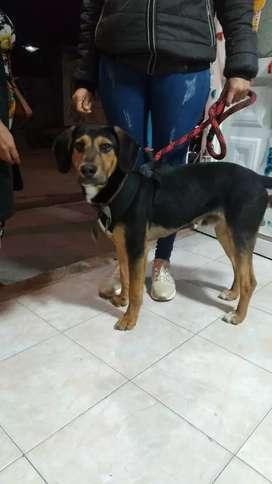 Perro raza dachshund, edad 7 meses en adopcion