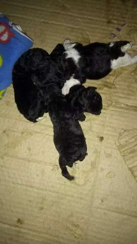 Caniche toy nacieron el 8 /12 se le corto la cola