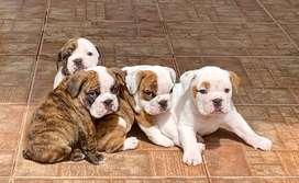 Hermosos cachorros bulldog inglés