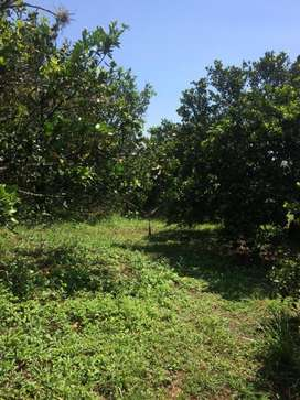 GANGA. Hermosa finca en producción. 3.1 hectáreas