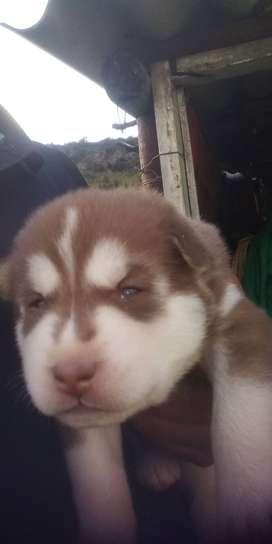 Hermosos perrito lobonsiberiano