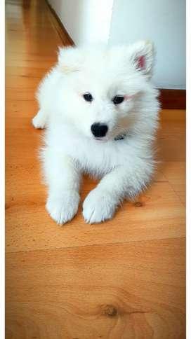 Cachorro Samoyedo macho