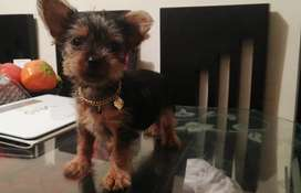 Bella Mini yorkshire terrier