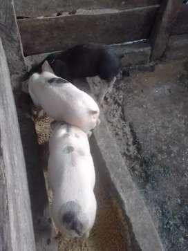 Venta de cerdo cruce entre Landra y pietran