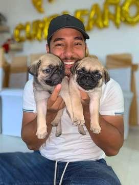 Cachorros Pugs