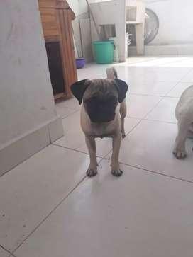 Vendo perra Pug de 5 meses