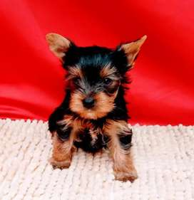 Raza Yorkshire terrier  disponibilidad inmediata