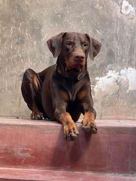 Doberman macho marrón exportado desde lima