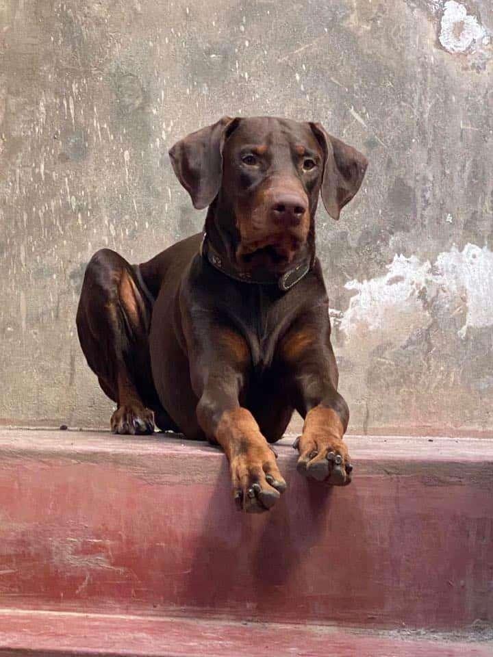 Doberman macho marrón exportado desde lima 0