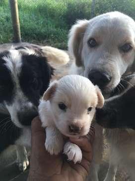 Cachorros puros