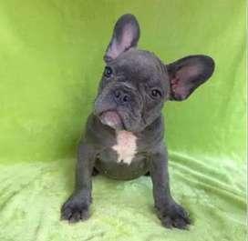 Bulldog frances calidad total de 58 dias de nacido