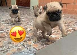 Pug cachorritos
