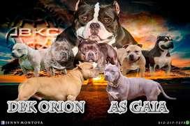 Cachorros american bully con registro abkc