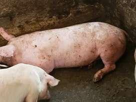 Cerdos doble jamón