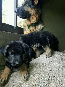 Hermosos cachorros de ovejero aleman