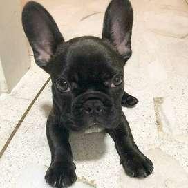 perras bulldog frances negras imponente mirada