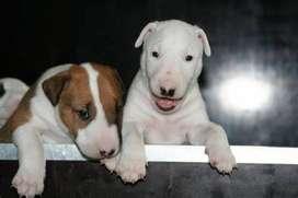 cachorros bullterrier dorados y bicolores hermosos
