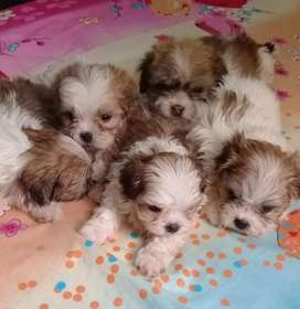 Shitzu cachorritos
