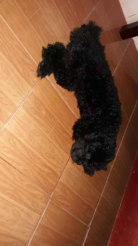 Se Vende French Poodle  Negro