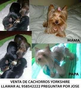Venta De Cachorros Yorkshire